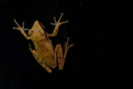 Frog isolated on black background (Rhocoprus Leucomystax)