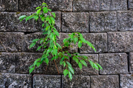 subsist: leaf growing through crack in old sand stone wall,survival concept.
