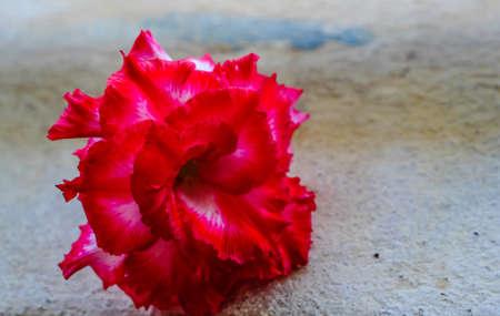 mock azalea: adenium obesum on white background red desert flower