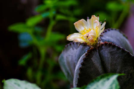 Closeup of yellow Opuntia ficus-indica flowers