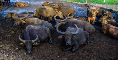 Thai Buffalo walk over the field go back home with sunset. Life Machine of Farmer. Original agriculture use buffalo plow the field. Stock Photo