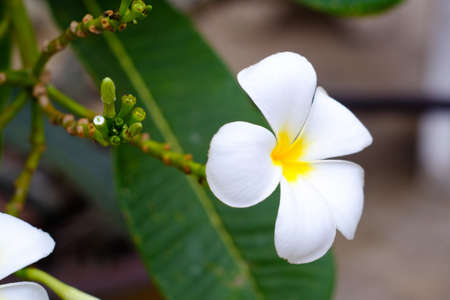 subtropical plants: Plumeria is a popular plant because the flowers are colorful variety beautiful white, yellow, light red, pink, white.