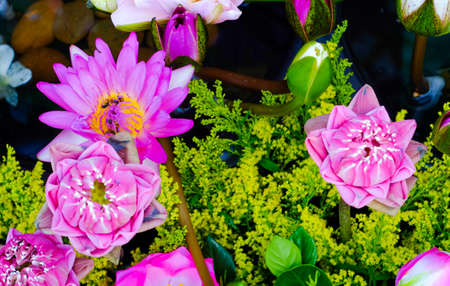 beautiful lotus flower in blooming at garden