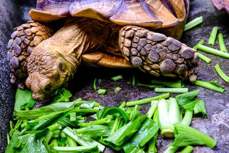 sulcata tortoise - Astrochelys sulcata - feeding. Animal portrait.