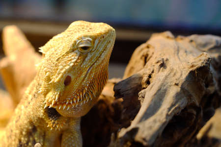 bearded dragon sitting on a wooden Stock Photo