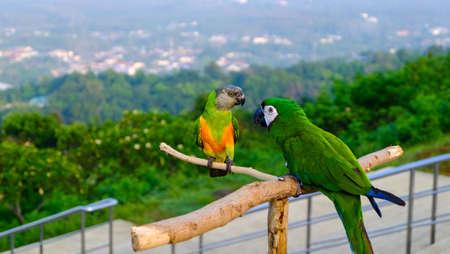 Papegaaivogel, groene Papegaai Grote-Groene Ara, Ara Ambigua, Wilde zeldzame vogel in de Nationale Parken-Psittacula Alexandri, Parkiet met rode borst.
