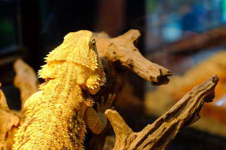 Bearded dragon sitting on a wooden