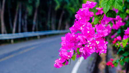 Magenta bougainvillea flowers as a background. Banco de Imagens