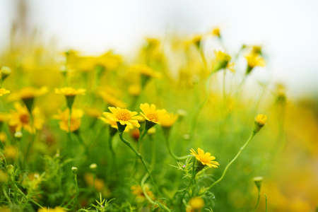 Spring background with beautiful yellow flowers are naturally blurred.