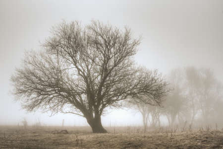 A tree standing majestically in a meadow on a foggy morning  photo