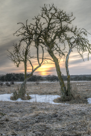 The sun rises, visible between to barren trees  photo