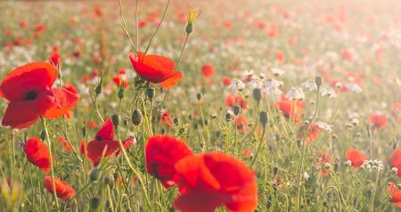 filtered: Flores silvestres en un prado con filtro Foto de archivo