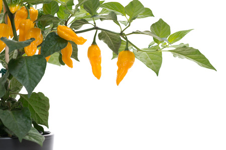 Fatalii chili on plant, isolated on white, with copy space Stock Photo