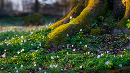 Several wood anemone Nemorosa blooming by the roots of a tree. The sun is setting, casting a warm light upon the scene.