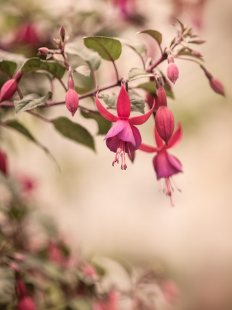 Red purple Fuchsia flower close-up vintage style. Stock Photo