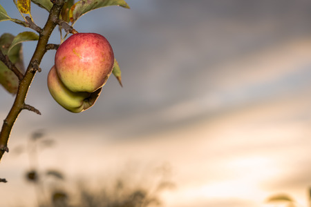 Apples on a branch with light from the rising sun in the background Stock Photo