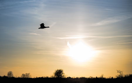 A single goose flying with the setting sun in the background