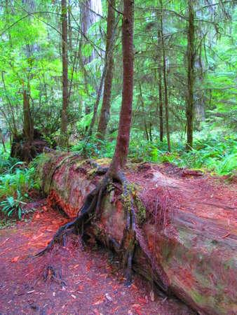 crescent: Amazing Redwood forest,Crescent city Ca,Usa