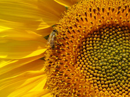 bee collects nectar on a sunflower