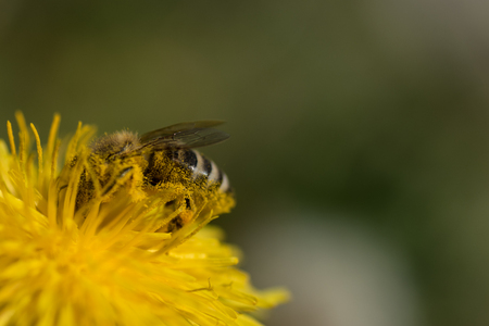 Close up macro bee and dandelion shot. Yellow flower in meadow. Colecting pollen for honey.