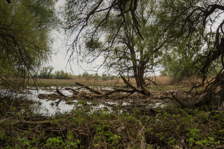 Shot of swamp in spring with early green leafs and dryed branches in water and dryed shrubs.