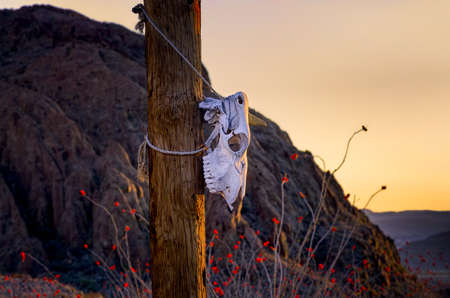 Animal skull hanging from a post in the desert with sundrenched Ocotillo blooms in the background photo