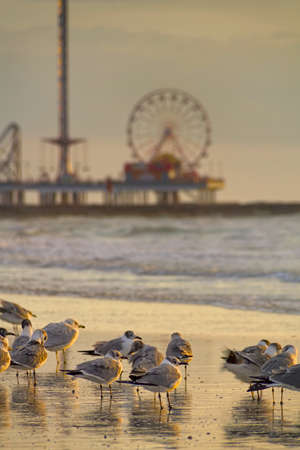 Seagulls on the beach in Galveston with the Galveston Pleasure Pier in the background