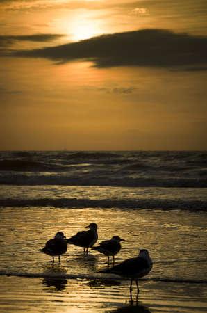 bandada pajaros: Gaviotas silueta en una playa de Galveston poco después de la salida del sol Foto de archivo