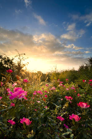 Sunshine bathing tall grasses and pink roses in a rural garden setting