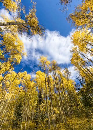 Golden yellow aspen forest in Santa Fe Ski Basin, New Mexico photo