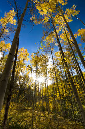 Sun shining through an autumnal golden aspen stand in the Santa Fe Ski Basin, New Mexico photo