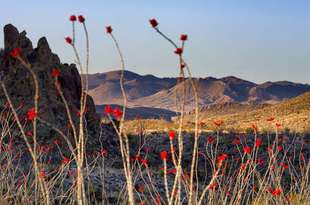 ocotillo: Big Bend desert scene featuring the bright crimson blooms of the Ocotillo plant Stock Photo
