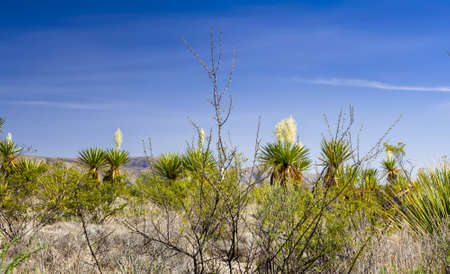distinctive: Giant dagger yucca plants with distinctive white flower blooms
