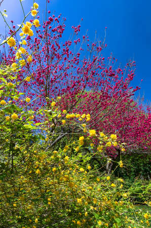 dogwood tree: Yellow flowers fronting red dogwood trees in Dallas, TX Stock Photo