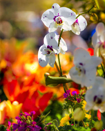 arboretum: Purple and white orchids against a blurred background of colorful daffodils