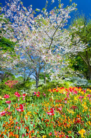 arboretum: Cherry blossoms and tulips on a spring day in Dallas, TX