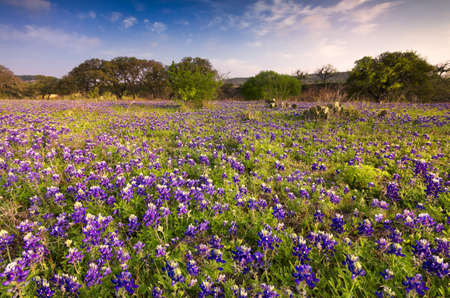 Bluebonnets covering a rural field bathed in early morning light Stock Photo