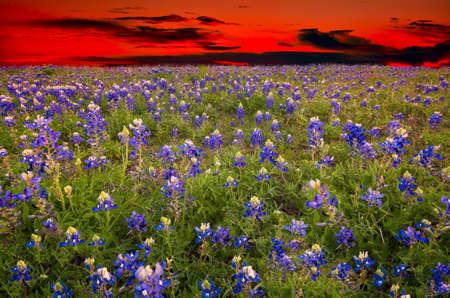 Bluebonnet field captured at dusk under an orange-crimson sky