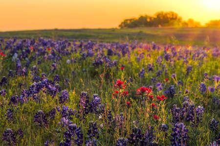 Texas wildflowers awash in early morning sunshine 스톡 콘텐츠