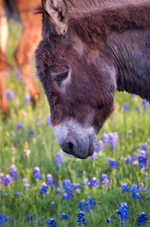 lupine: Early evening photo of a donkey in  a field of Texas bluebonnets