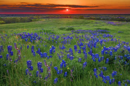 Texas pasture filled with bluebonnets at sunset
