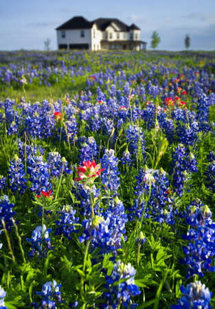 Country home sitting in a field of bluebonnets and Indian paintbrushes Stock Photo - 19290422