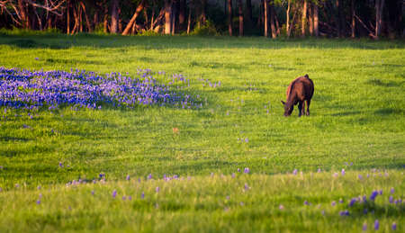 lupine: Pastoral scene in Ennis, TX featuring colorful bluebonnets and lush green grass Stock Photo