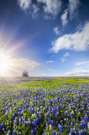 Bluebonnets and sunflowers bathed in late afternoon Texas sunlight photo