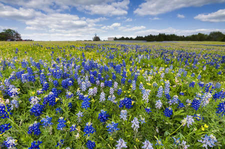Bluebonnets and sunflowers bathed in late afternoon Texas sunlight