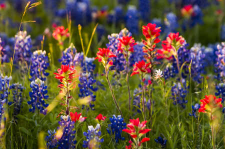 wildflowers: Indian paintbrushes and bluebonnets in late afternoon light