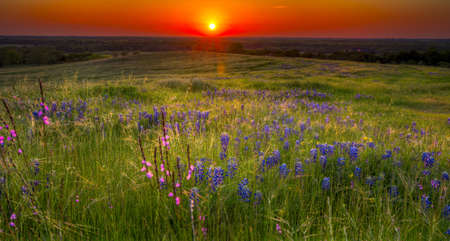 Sun setting over a pastoral view of bluebonnets, grasses, and other flowers in Texas photo