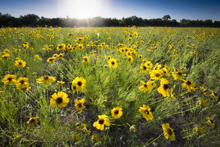Sunflowers bathed in early morning sunlight in Texas