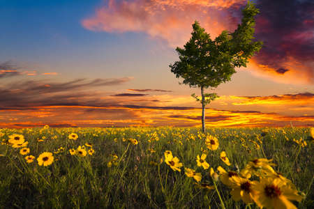 unusually: Unusually shaped tree sitting int a Texas sunflower field at dusk