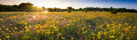 countryside landscape: Sun-drenched sunflowers at dusk Stock Photo